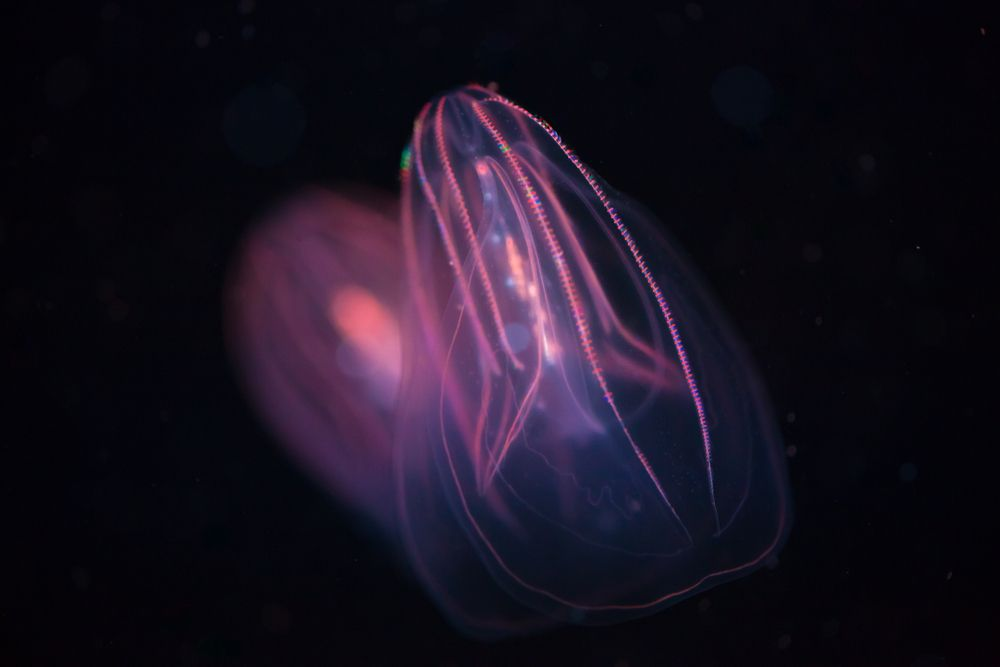 Fun Facts About Comb Jellies