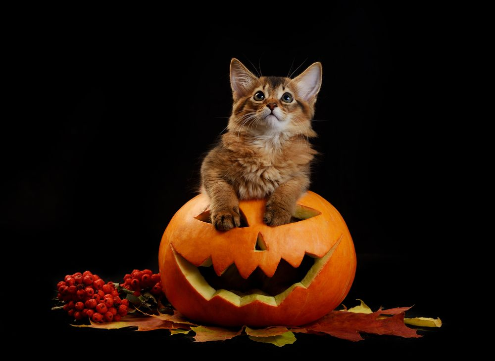 cat in a pumpkin