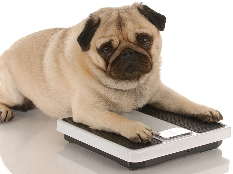 Dog on a weight scale