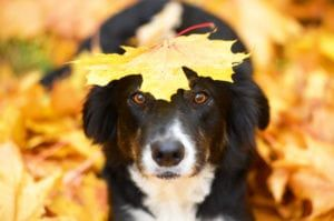 Dog under a fall leaf
