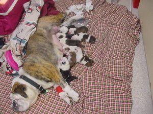 lactating mother dog