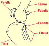 animal knee anatomy