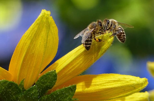 Honeybees are Modern-day Canaries in the Coal Mines