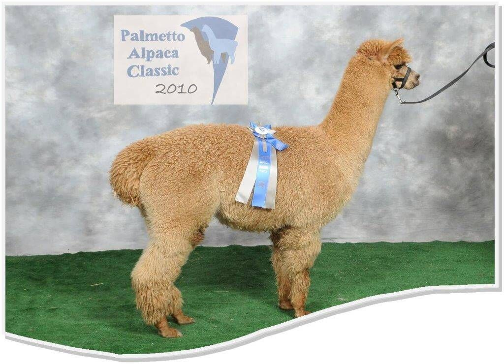 Herdsire Breeds At Awesome Alpacas